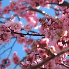 Cherry Blossom - Pink by Sammy Nuttall