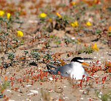 Nesting Fosters Tern by levipie