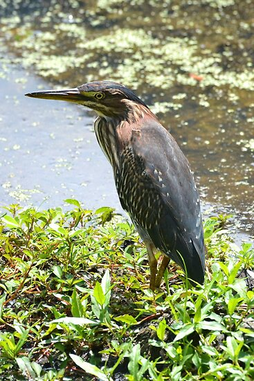 Green Heron 2 by William Brennan