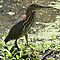 Green Heron 0 by William Brennan