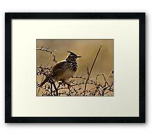 Crested lark,  Galerida cristata Framed Print