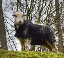 Herdwick Sheep by VoluntaryRanger