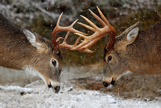Quot Clash Of The Titans White Tailed Deer Bucks Quot By Jim