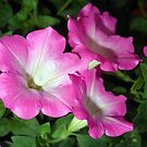 Pink Petunia by Rainy
