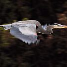 Great Blue in Flight by Nature's realm