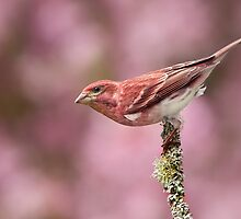 Purple Finch with Blooming Crabapple Backdrop. by Daniel Cadieux