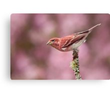 Purple Finch with Blooming Crabapple Backdrop. Canvas Print