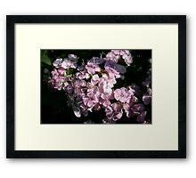 Sweet Sweet Williams Framed Print