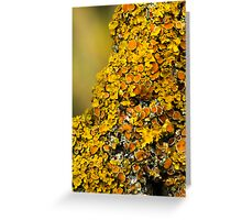 Lichen (could be Xanthoria polycarpa Greeting Card