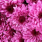 Purple mums by tdash