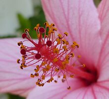Pink Flower (Extreme Close-Up) by Vicki Spindler (VHS Photography)