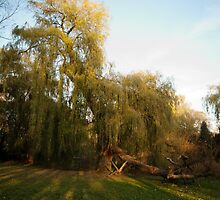 Weeping willow with broken wing by steppeland