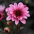 Pink dahlia by Jeanne Horak-Druiff