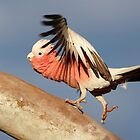 Galah ~   Lets do the time warp again    by Robert Elliott