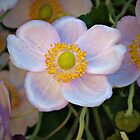 Anemone by PhotosByHealy