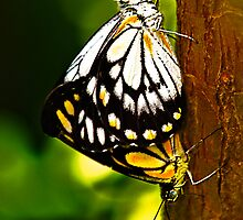 Chequered Swallowtail by Amelia Chen