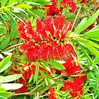 Christmas Bottlebrush by cschurch