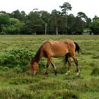 New Forest Pony by kostolany244