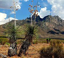 Soaptree Yucca by Ray Chiarello