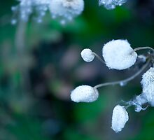 Cotton white flower on green background by Mel-D