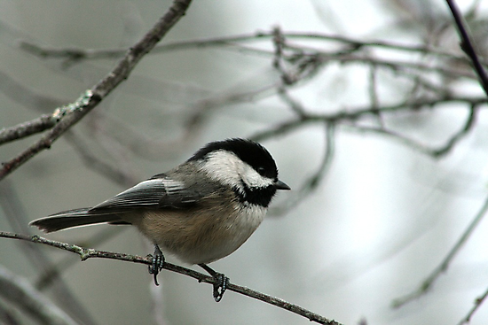 Black-capped Chickadee by Harry Snowden