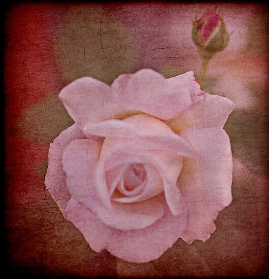 my beautiful rose by Clare Colins