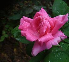 A lovely sparkling pink rose by Joseph Green