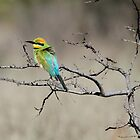 Rainbow Bee-Eater Candid by MiksPics