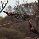 Wedgetailed Eagle in Flight by Cheryl Parkes
