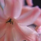 Hyacinth Macro 2 by Colin Bentham
