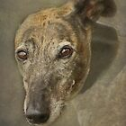 Portrait of a Rescued Greyhound by Furtographic
