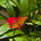 Heliconcus Chorelores butterfly by bulljup