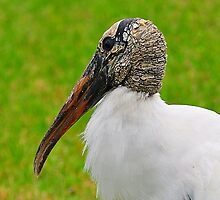 Wood Stork by joevoz