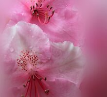 Rhododendron Dreams by James Eddy