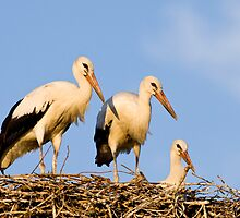 White Stork Nest in Sunset by Janika
