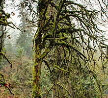 Tangled Maple in a Rain Forest by Dale Lockwood