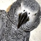 Sweet Pea African Grey by yonni