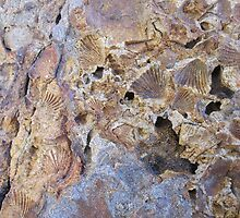 Pembrokeshire - fossil shells by demon6421