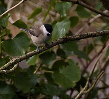 Marsh Tit by Country  Pursuits