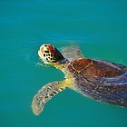 Sea Turtle by joevoz