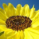 Sunflower Fine Art Prints Yellow Sunflowers Floral by BasleeArtPrints