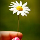 A single daisy. by MellyClaire