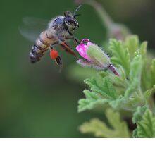 Kangaroo Island Ligurian Bees by saharabelle