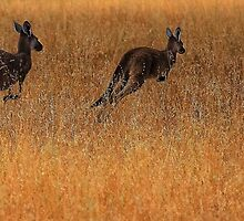 Kangaroos in Flight by Jill Fisher