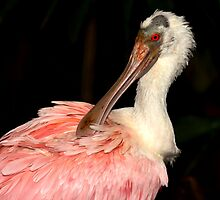 Roseate Spoonbill by neil harrison