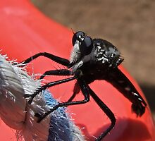 Giant Robberfly by Rick Playle