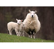 Sheep with young Lambs, Brecon Beacons (South Wales) Photographic Print