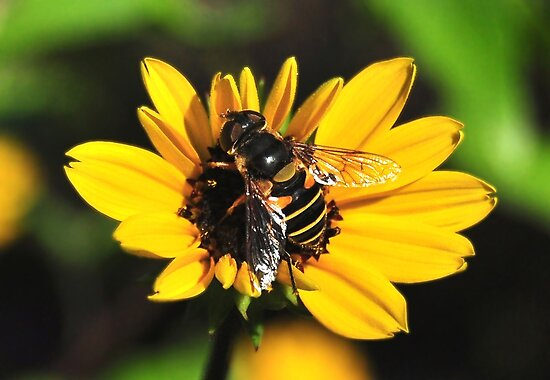 The Hover Fly & The Daisey by Kathy Baccari