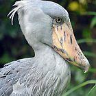 Shoebill Stork - Singapore by Ralph de Zilva