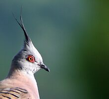 crested pigeon by Trish Threlfall